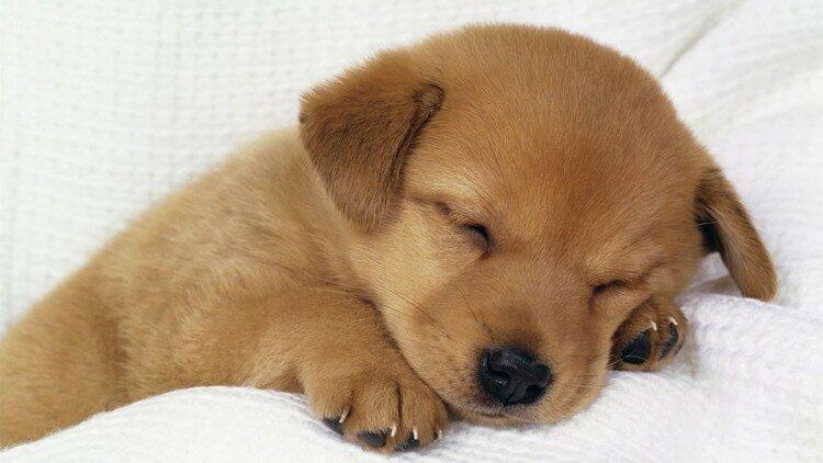 Un chiot qui dort